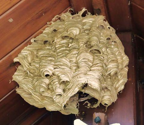 hornissen und wespen bund naturschutz in bayern e v. Black Bedroom Furniture Sets. Home Design Ideas